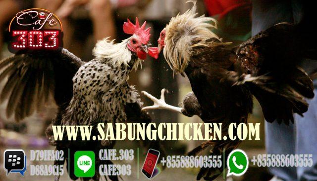 Agen Sabung Ayam Promo Bonus Tahun Baru