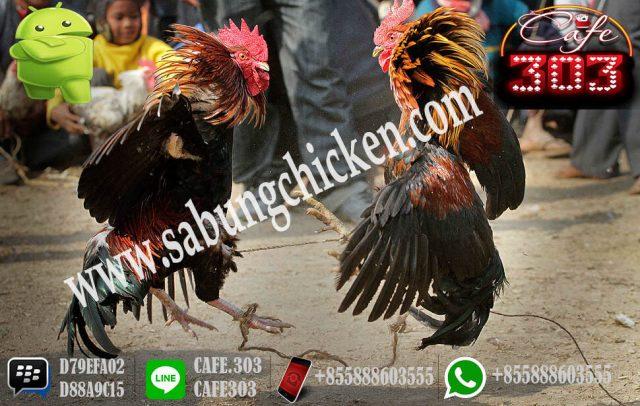 Situs Taruhan Ayam Bonus 20