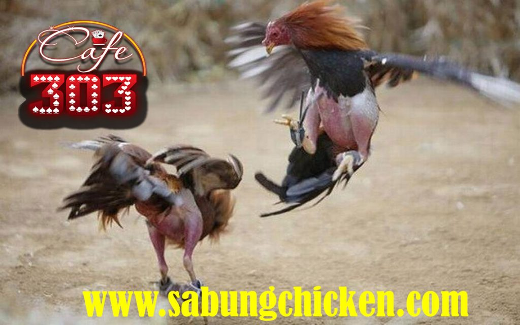 Taruhan Sabung Ayam Live