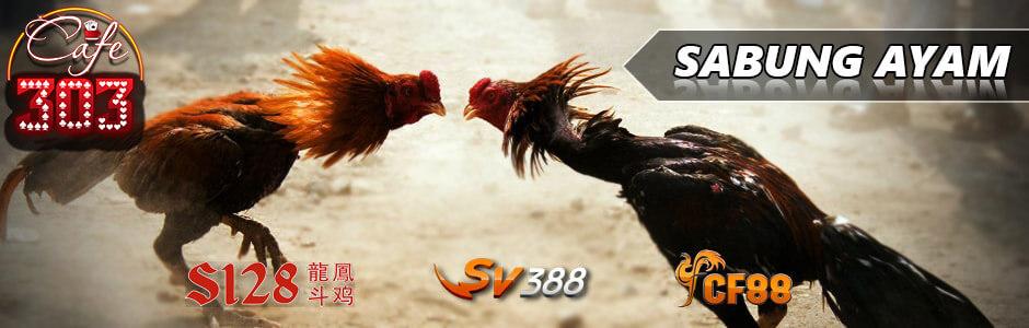 Judi Adu Ayam Terpercaya
