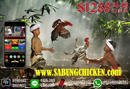 Perjudian Sabung Ayam 24 Jam