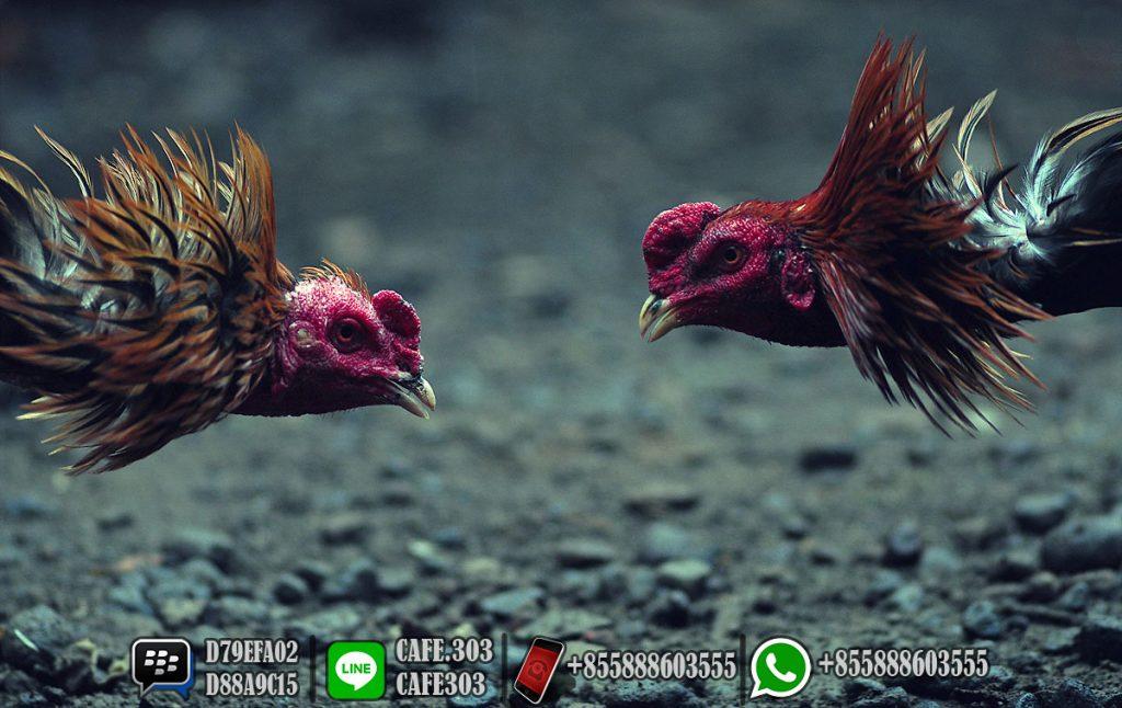 """Main Sabung Ayam Online 3 """"width ="""" 640 """"height ="""" 404"""