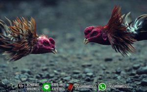 Main Sabung Ayam Online 3
