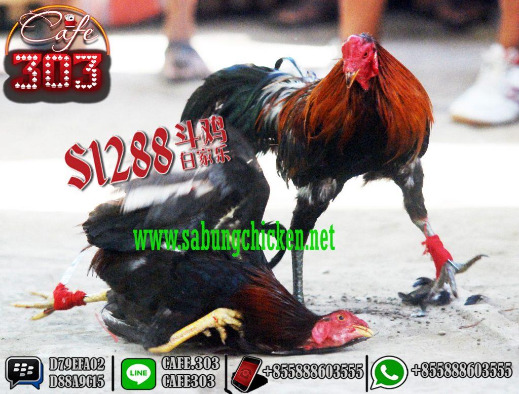 Promo Sabung Ayam Deposit Termurah